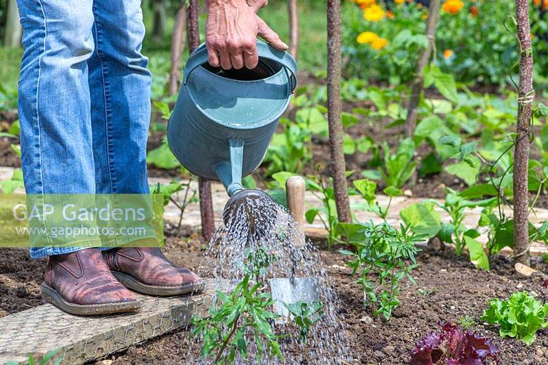 Woman watering newly planted Summer Savory plants.