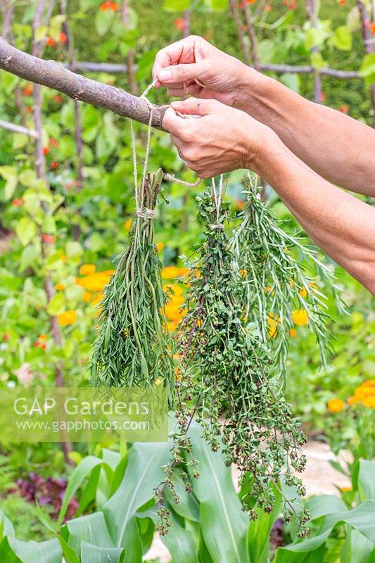 Woman tying bunch of Summer Savoury - Satureja hortensis up to dry.