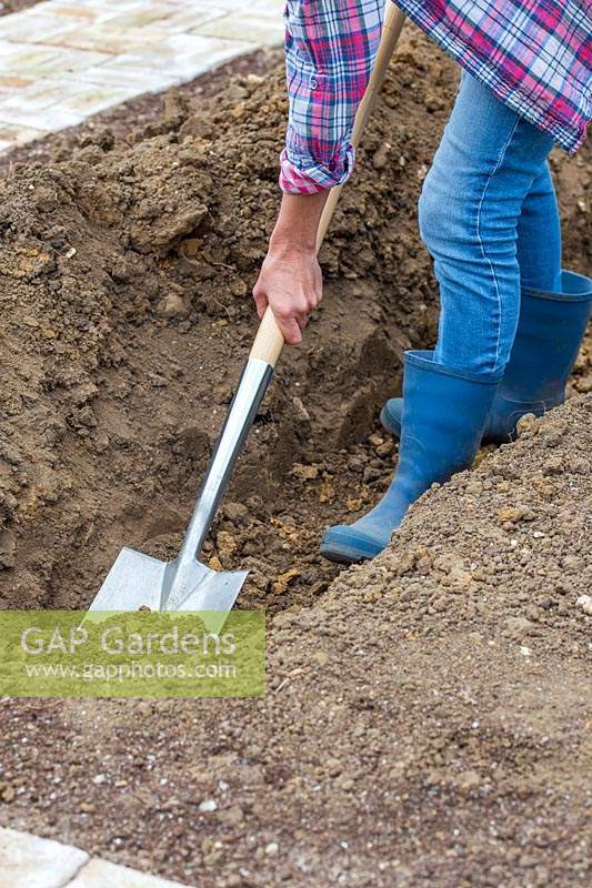 Woman digging trench with spade to incorporate soil improver prior to planting Courgette plants.