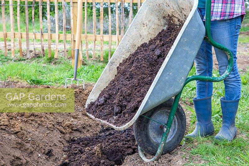 Woman tipping well rotted manure from wheelbarrow into trench.