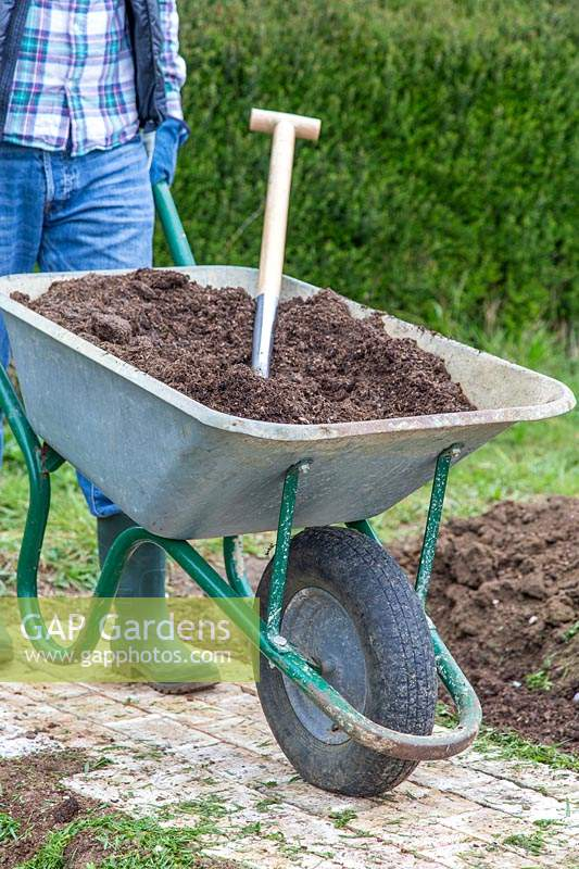 Man pushing wheelbarrow with well rotted manure in preparation for growing runner beans.
