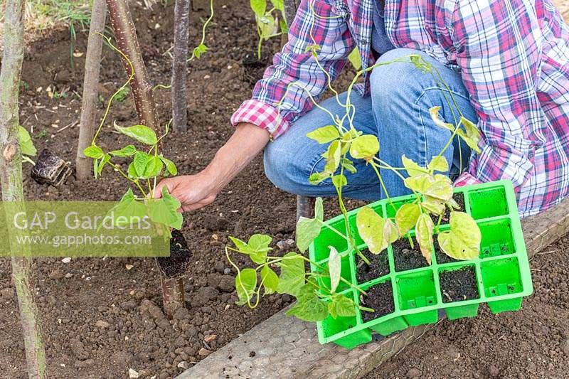 Woman planting young climbing bean plants by hazel stick structure