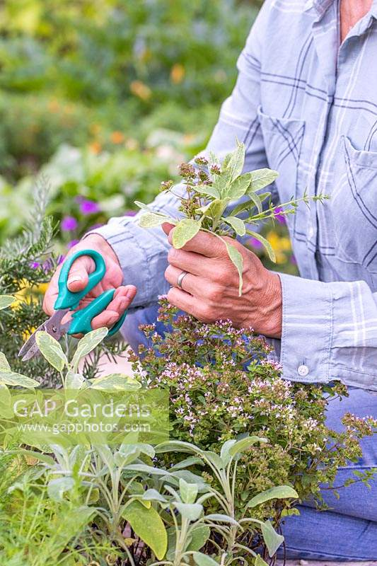 Woman picking herbs using scissors.