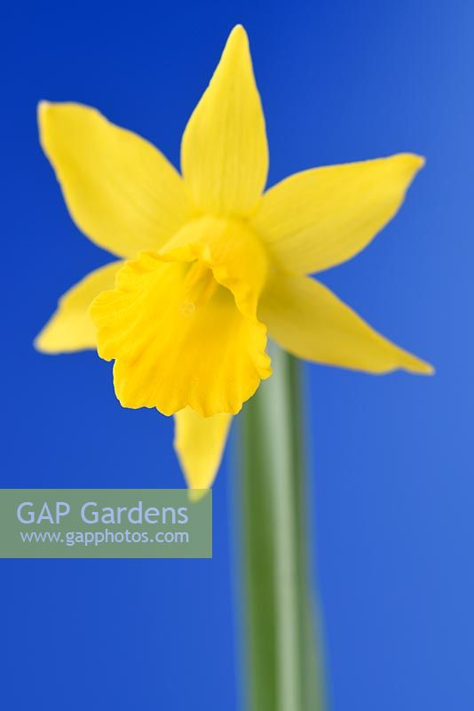 Narcissus 'Small Talk' - Daffodil 'Small Talk'