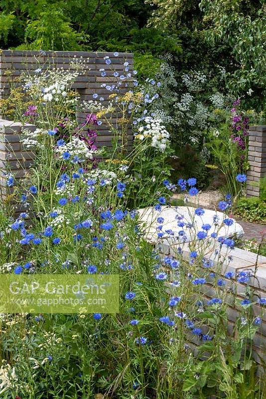 The Sanctuary Garden is overflowing with  blue cornflowers - Centaurea cyanus, and white umbels of Ammi majus.  Also planted in in the garden are Chichorium intybus, Nasturtiums and pear tree -  Pyrus sp.  Designer: Ula Maria.  RHS Feature Garden.