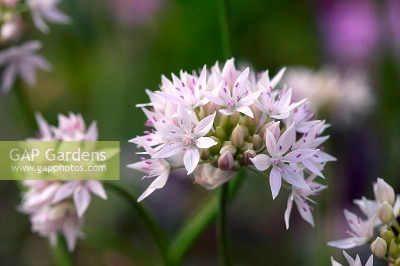 Allium amplectens 'Graceful Beauty'