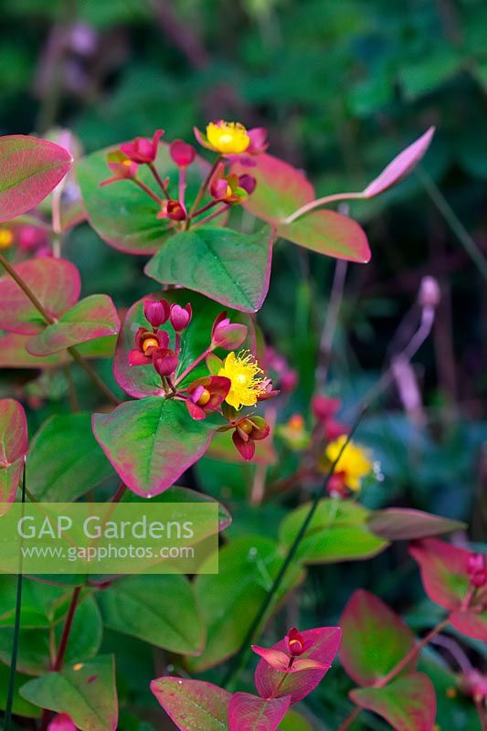 Hypericum androsaemum - Tutsan growing in woodland in western UK