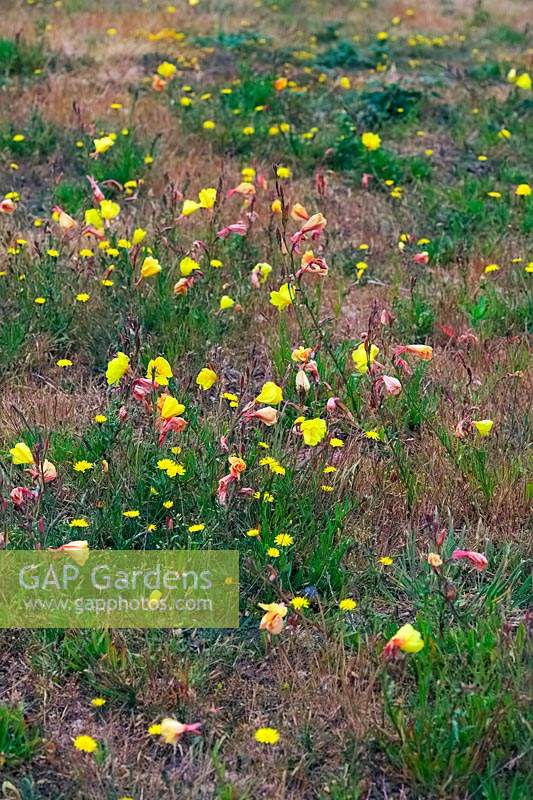 Oenothera stricta - Fragrant Evening Primrose