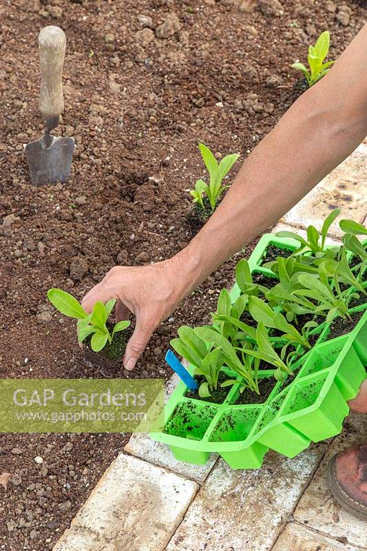Woman ligting the seedlings from the seedtray and spacing the plants along the path