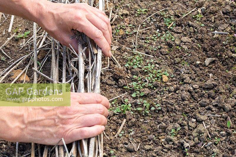 Woman removing old dried stems to reveal the seedlings of Verbena bonariensis below.