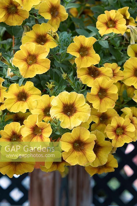Petunia x Calibrachoa - Petchoa BeautiCal 'Caramel Yellow'