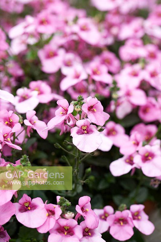 Diascia 'Diamond Pink'  - Twinspur 'Diamond Pink' - July