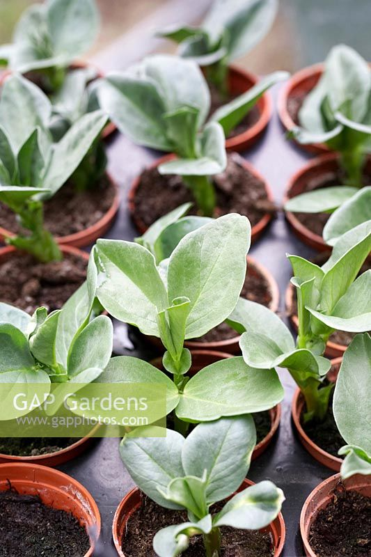 Vicia faba - Broad Bean plants in greenhouse.