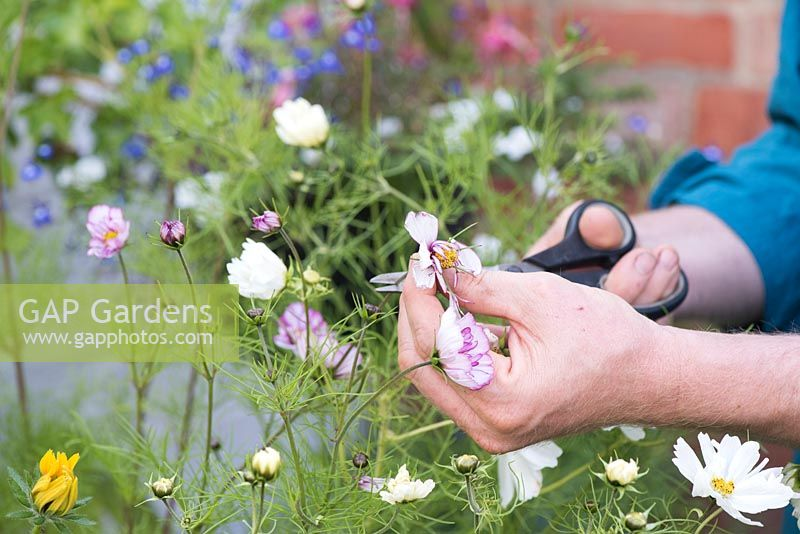 Gardener deadheading cosmos flowers with scissors in an English garden