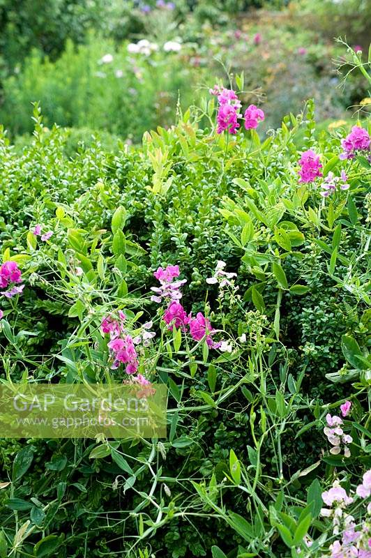 Lathyrus - Sweet pea growing by Buxus - Box hedge.