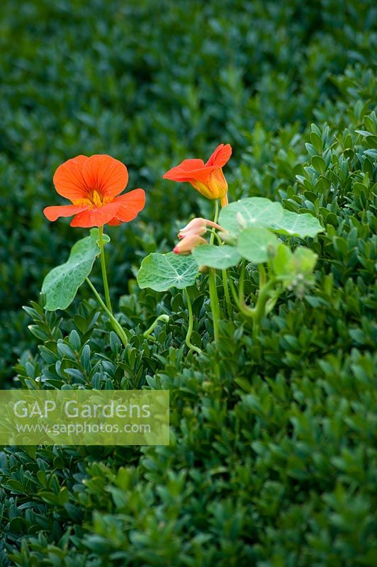 Tropaeolum majus - Nasturtium growing through Buxus - box hedge