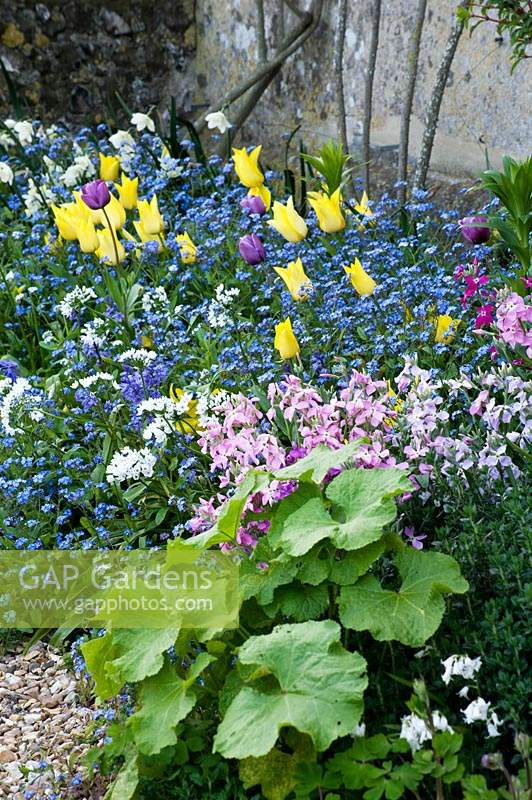 Spring border with flowering Tulipa, Myosotis - Forget-me-not,  and Alchemilla mollis - Lady's Mantle.