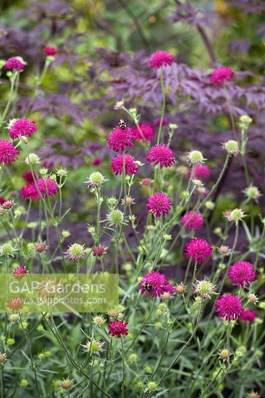 Bees on Knautia 'Red Knight'