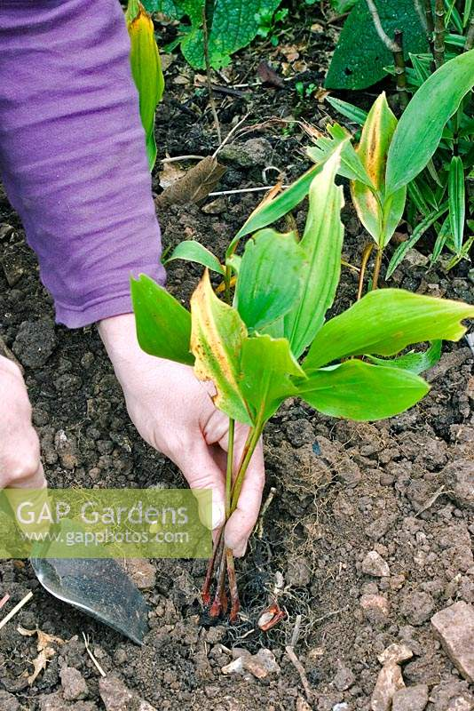 Person planting Convallaria majalis - Lily of the valley