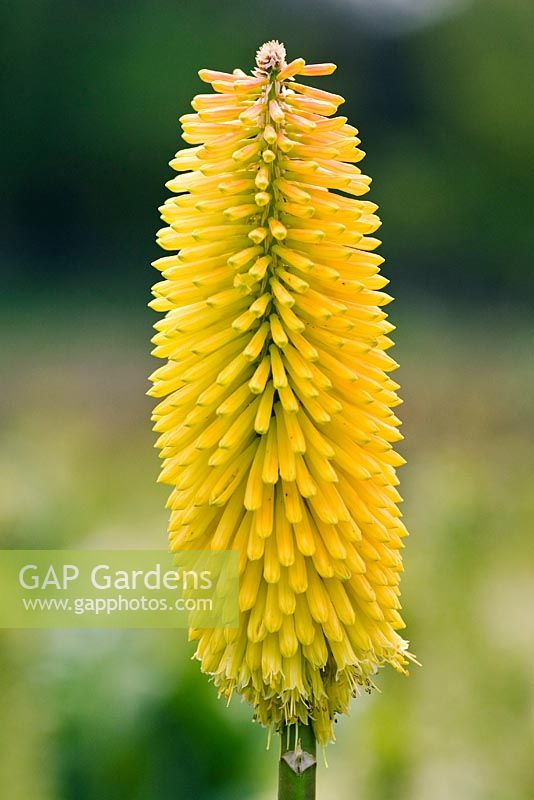 Kniphofia 'Buttercup' - Red-Hot Poker 'Buttercup'