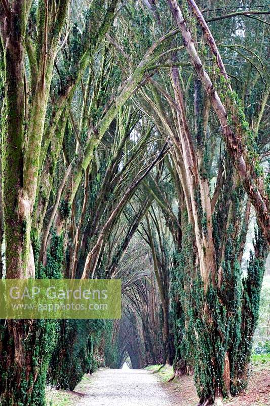 Avenue of Taxus baccata - Yew - at Tregrehan Garden, Cornwall, UK.