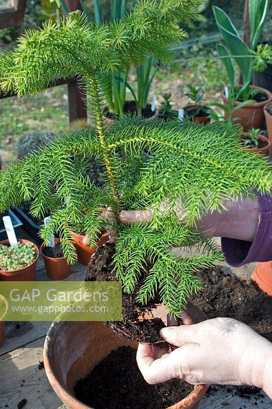 Person repotting an Araucaria heterophylla - Norfolk Island Pine into pot.
