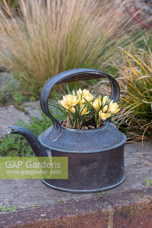 Crocus 'Cream Beauty' planted in an old copper kettle, flowering in winter.