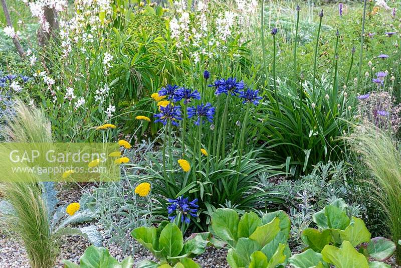 A gravel garden inspired by Beth Chatto, with drought tolerant plants such as Agapanthus campanulatus 'Navy Blue and golden Achillea x Schwellenberg. Beth Chatto: The Drought Resistant Garden, designed by David Ward, RHS Hampton Court Garden Palace Show, 2019.
