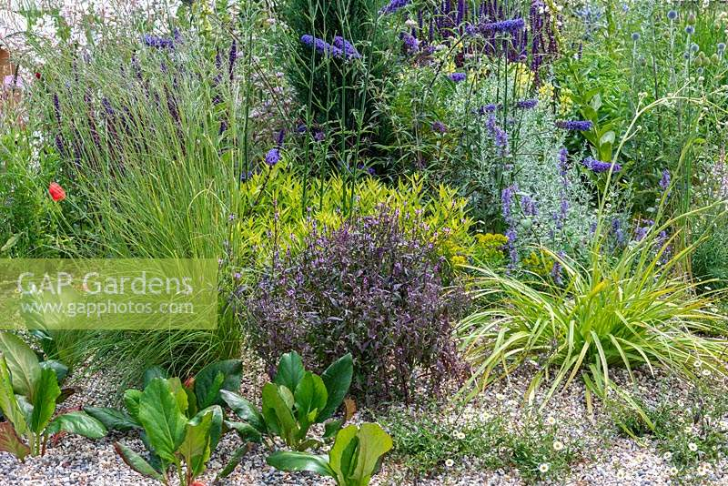 Gravel garden inspired by Beth Chatto, with drought tolerant plants such as Verbena officinalis var. grandiflora 'Bampton', Vervain, bergenias, Erigeron and Buddleijas. The Drought Resistant Garden, designed by David Ward, RHS Hampton Court Garden Palace Show, 2019.