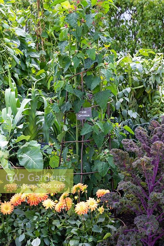 Community allotment planted with tree spinach contained within an iron support, surrounded by flowering Dahlias.