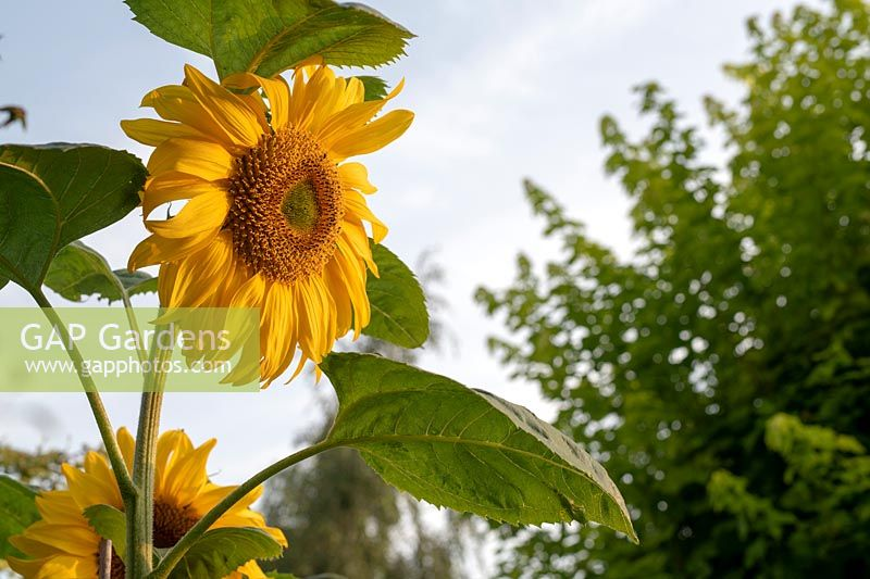 Helianthus annuus - Sunflower in the early morning sunlight.