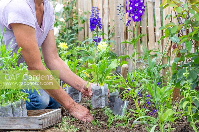 Woman placing bio degrable pots with wildflower seedlings ready for planting