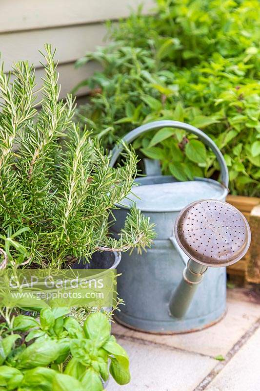 Glavanised bucket with Rosemary and watering can