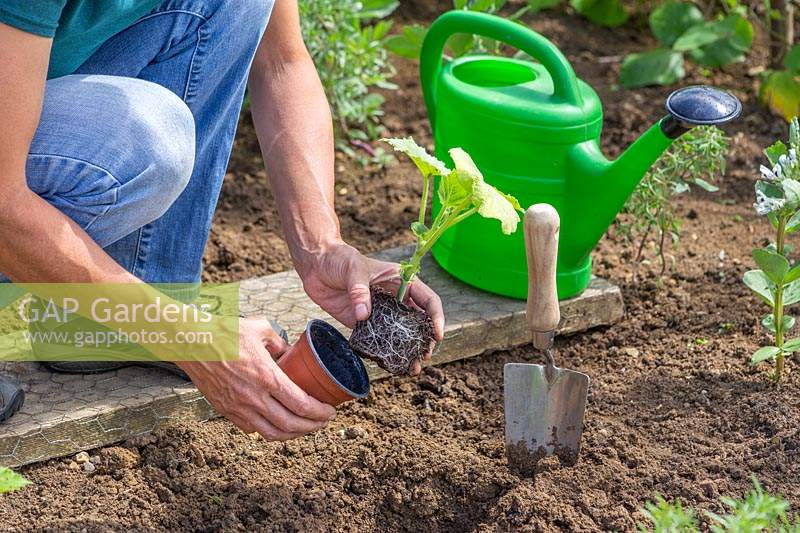 Woman planting Squash 'Harrier'