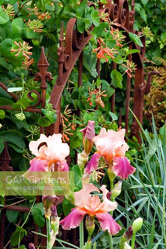 Iris 'Carnaby' growing in front of an old metal gate covered by Lonicera brownii 'Dropmore Scarlet'