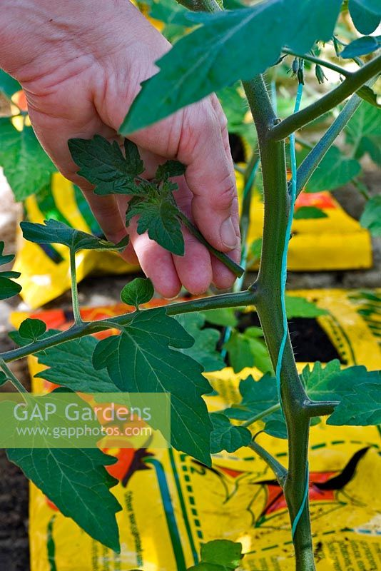 Person winding string around the stem of  tomato 'Sungold' in a grow bag in a greenhouse.
