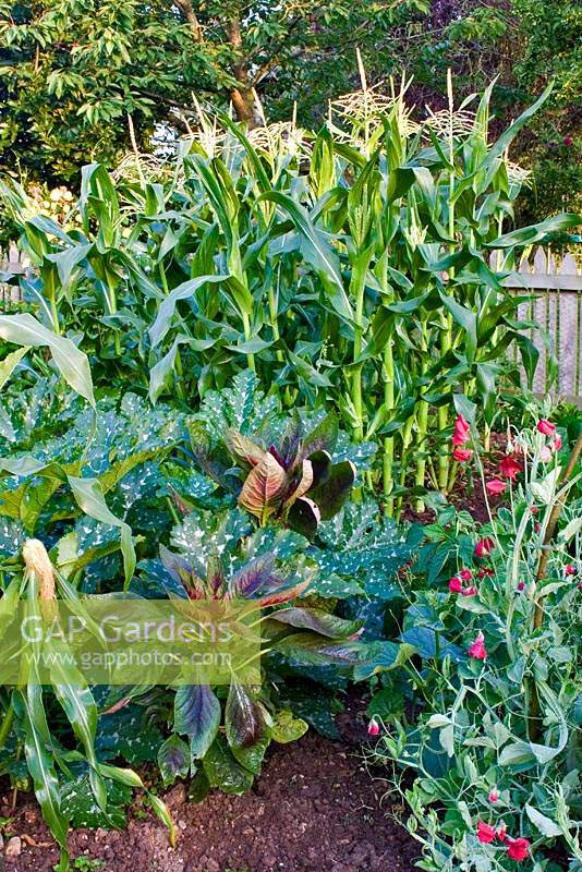 Vegetable garden with sweetcorn, courgettes, sweet peas and self-seeded Amaranthus - Love-Lies-Bleeding.