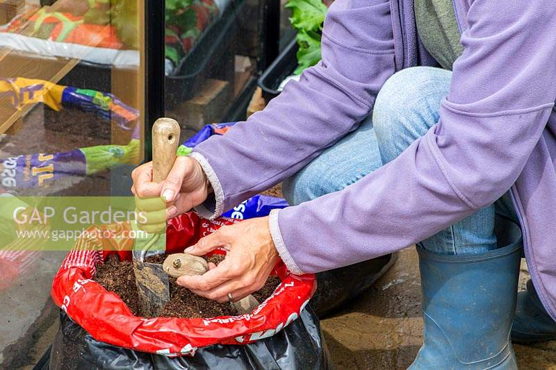 Woman planting seed potatoes in compost bag using a hand trowel