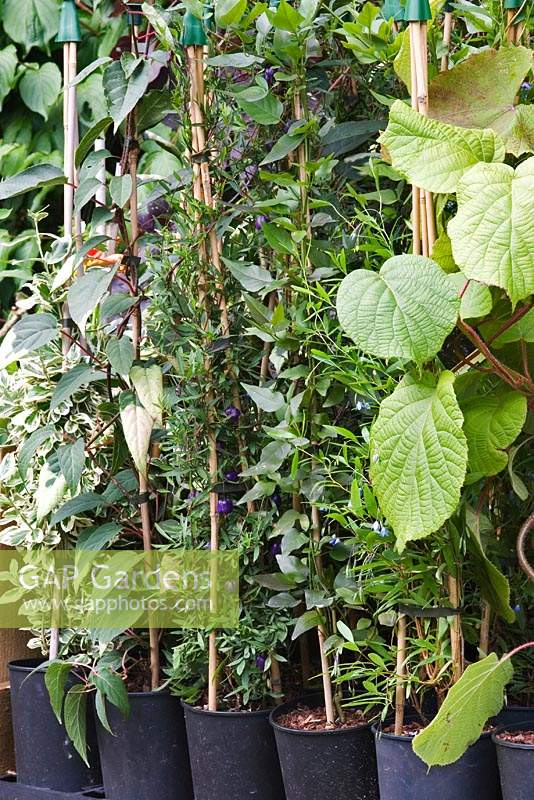 A small retail nursery specialising in unusual plants - Climbing plants Actinidia, Billardiaria and Jasminum for sale.