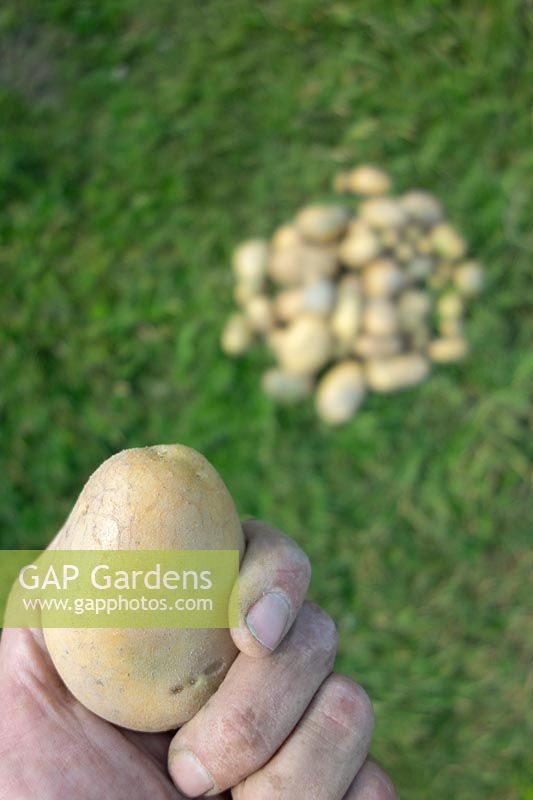 Person holding harvested potato - Solanum tuberosum 'Obama'
