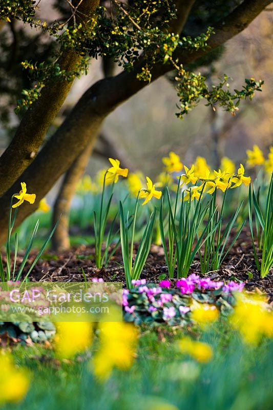 Narcissus 'February Gold' AGM and Cyclamen coum in Spring.