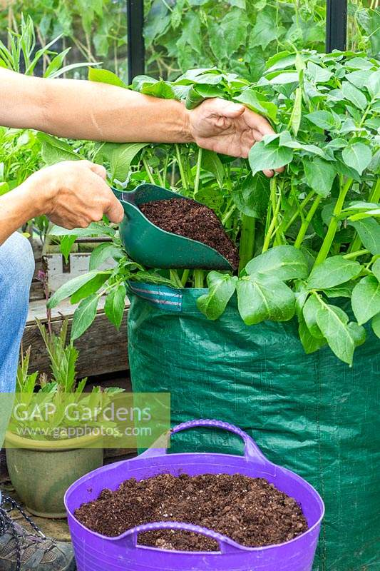 Woman adding more compost to potatoes grown in potato sack using a scoop