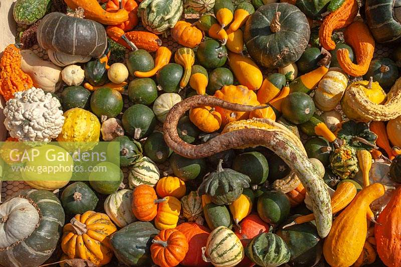 An abundance of different varieties of harvested Pumpkins, Squash and Gourds, including Cucurbita pepo 'Autumn Wings', Turban Squashes, Gourd 'Lunch Lady', Pattypan squash, Crookneck squash, Acorn squash, Pumpkin 'Jack Be Little', Red Kuri squash, Sweet Dumpling squash, Straightneck squash and Gourd Koshare Yellow Banded