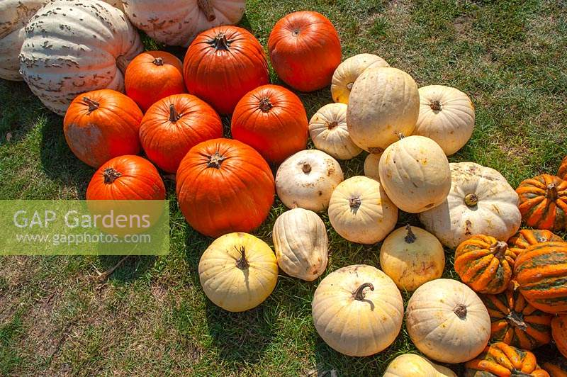 Rows of Pumpkins and Squash of different varieties including Pumpkin 'White Bear' and Pumpkin 'The Big Max' , Pumpkin 'Kamo Kamo'