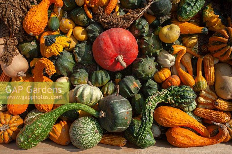 A display of different varieties of harvested Pumpkins, Squash and Gourds, including Chilacayote squash, Pumpkin 'Rouge vif d'Etampes', Kabocha squash, Cucurbita pepo 'Ten Commandments', Butternut Squash - Cucurbita moschata, Pumpkin 'Kamo Kamo', Golden Crookneck squash and corn