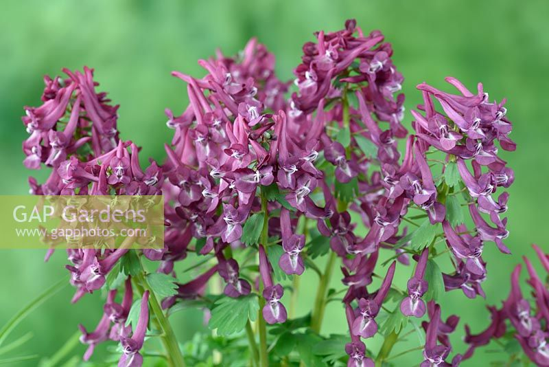 Corydalis solida 'Purple Bird' - Fumewort