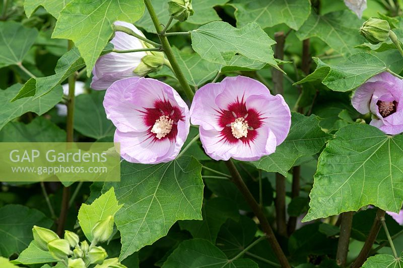 Hibiscus sinosyriacus 'Lilac Queen' - Rose of Sharon  'Lilac Queen'