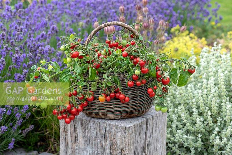 Tomato 'Tumbling Tom', a trailing tomato plant with clusters of small red cherry tomatoes cascading over the side.