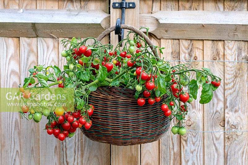 'Tumbling Tom' - a trailing tomato plant with clusters of small red cherry tomatoes cascading over the sides of a basket.