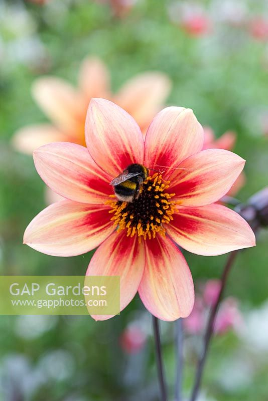 A bee seeks nectar in Dahlia 'Mystic Memories', a single anemone flowered dahlia with dusky foliage.